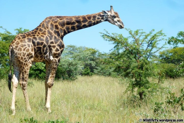 Male Giraffe (Giraffa camelopardalis) feeding on an Umbrella Thorn (Acacia tortilis)