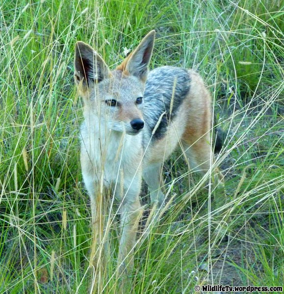 A Black Backed Jackal (Canis mesomelas) relaxed in a Summer's day on the green tall grass.