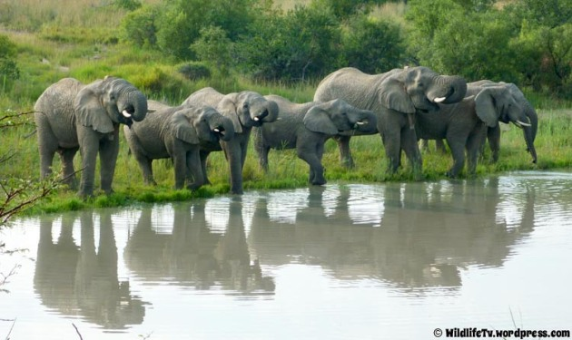 The elephant (Loxodonta africana) herd having a drink on the nearby dam.