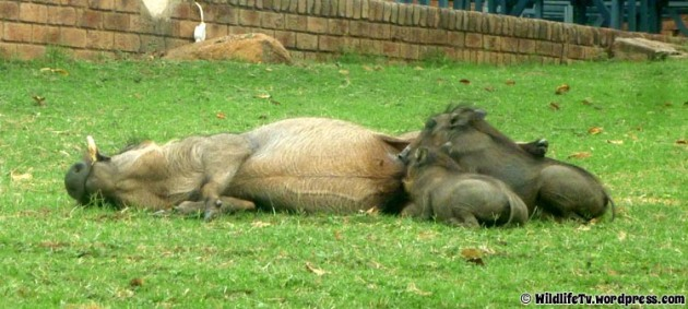 Mother Warthog (Phacochoerus africanus) allows piglets to suckle