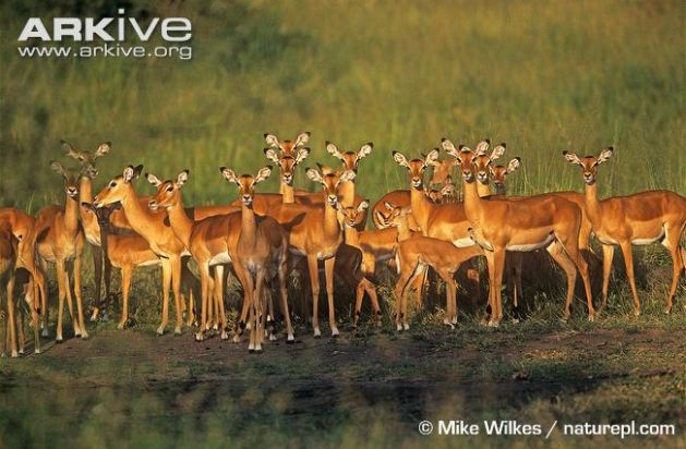 Impala (Aepyceros melampus) herd with females, juveniles and young baby lambs.