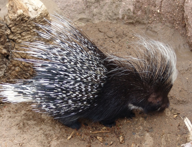 How do Porcupines mate?
