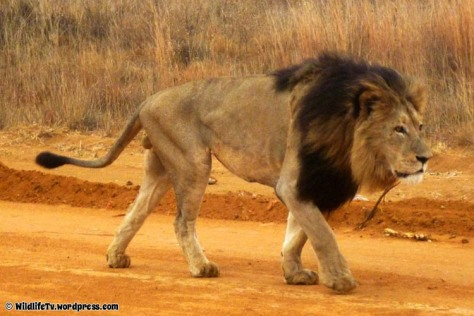 Male Lion (Panthera leo), the king of the jungle, wandering around the savannah