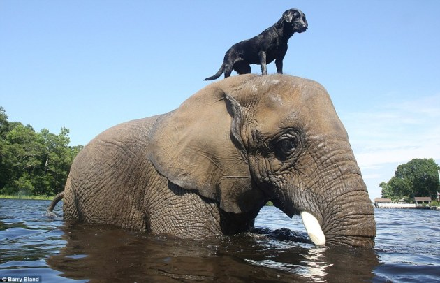 Bubbles and Bella, the female African elephant (Loxodonta africana) and the black labrador are best friends and love the water.